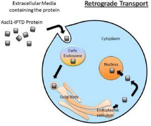 Cellular reprogramming